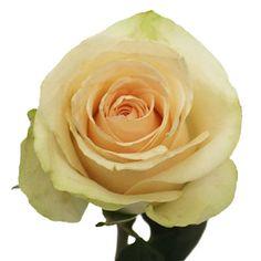 FiftyFlowers.com - Clear Ocean Peachy Cream Rose