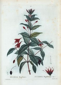 Les roses v2 1835 pierre joseph redoute biblioteca for Biblioteca digital real jardin botanico