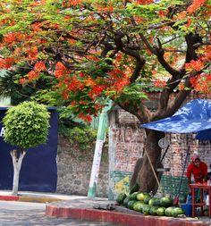 selling watermelons under a flowering tree - Cuernavaca, Mexico