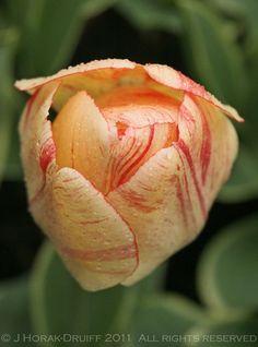 Tulip after rain, Keukenhof garden, Holland (photo by Jeanne Horak-Druiff)