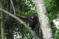 There are now 10 chimpanzees in the 'Chimpanzee Habitat'! On the 7th May the CRPL team moved Bolungwa, Kathe and Pablo from the sanctuary to the new facility. Next day the 7 which had previously been moved were let out into the forest and a few minutes later the 3 new chimpanzees were released after them. They had never before met each other so this was a new day all around. Kathe was particularly confident – she immediately climbed trees and ate anything she could find! LWIRO Primates