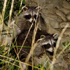 Raccoons in Southern Illinois. Photo by Taz. #animals #nature