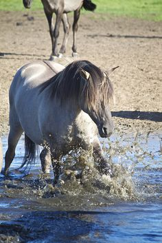 Wild horses Nothing like playing in the water to cool off.