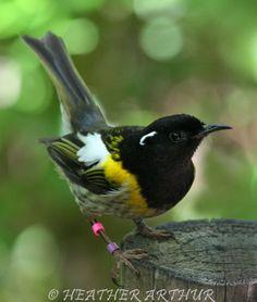 Stitchbird, New Zealand Beautiful Birds, Animals Beautiful, Animals And Pets, Cute Animals, Birds In The Sky, Bird Artwork, Mundo Animal, Bird Drawings, Wild Nature
