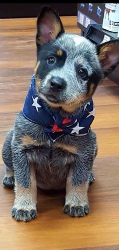 Blue Heeler - Australian Cattle Dog - Renowned for their Intelligence, Loyalty, Courage, Alertness & Protective Instinct Rated Cute Dogs And Puppies, I Love Dogs, Doggies, Baby Dogs, Cutest Dogs, Cute Baby Animals, Animals And Pets, Austrailian Cattle Dog, Australian Cattle Dog Puppy