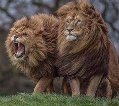 I love these 2 brothers - they're absolutely fabulous! #BigCatFamily