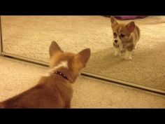 Corgi's first reflection...