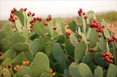 Prickly Pear cactus (Opuntia genus) with fruit, Sonoran desert, Arizona. Desert Flowers, Desert Cactus, Desert Plants, Desert Gardening, Cacti And Succulents, Cactus Plants, Edible Plants, Exotic Plants, Weird Fruit
