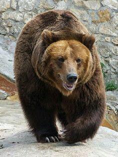 Os Russos consideram urso pardo seu animal nacional, porque eles vêem muitas coisas em que o urso se assemelha com a Rússia. Ele é grande e poderoso, mas é muitas vezes visto como sonolento (quando hiberna), lento e desajeitado. Ele é visto como dócil, quase fofo às vezes, mas quando desperta ele e fica de pé e aterrador quando ataca seu oponente com suas garras poderosas. Os ursos são encontrados em toda a Rússia.