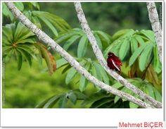 Pompadour Cotinga kuşu   (Xipholena punicea)