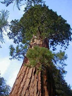 World's biggest tree - It is not the tallest tree in the world, but it's is the largest by volume.  General Sherman is a 2300-2700 year old sequoia tree located in Sequoia National Park, California. In 2002 the volume of its trunk measured 1487 cubic meters and identified as the largest in the world. It's not short either, it reaches 275 feet in height. It was named after general William Tecumesh Sherman, the American Civil War leader, by naturalist James Wolverton in 1879..