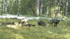 After nearly a century, a wolf pack has taken up residence in the Golden State.