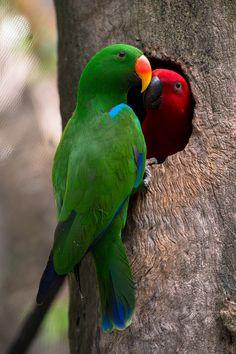 A pair of eclectus parrots in Port Douglas, Far North Queensland. #HelloGreen