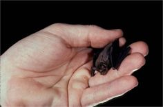 The Bumblebee bat. The world's smallest mammal.