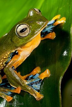 Black-webbed Treefrog, Green Flying Frog or Reinwardt's Tree Frog, Racophorus reinwardtii
