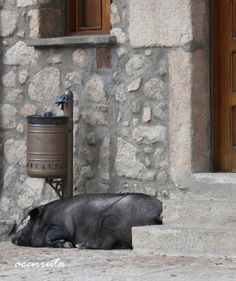 Mogarraz. Antón V espera, tranquilo, su San Antón