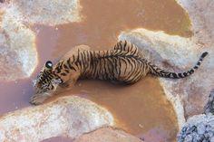 "trnscndnt: ""  Tiger Temple, Kanchanaburi, Thailand, 2015 Eleonora Bossi """