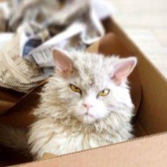 Кучерявое зло: кошка Альберт, которая очень похожа на злого барашка