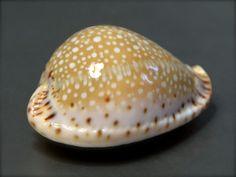 Seashell, Cypraea lamarckii, India, 37,3mm