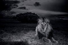 SerengetiLion11.jpg (628×418)