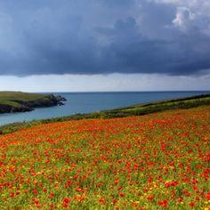 Campo de Amapolas de Cornualles- Inglaterra