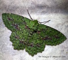 Geometridae Moth Herochroma baibarana