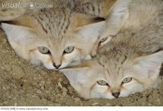 sand cat - Google Search