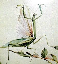 The Praying Mantis by Edward Julius Detmold