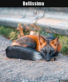 Animals And Pets, Baby Animals, Funny Animals, Cute Animals, Animal Intelligence, Fox Pictures, Australia Animals, Pet Fox, Arte Disney