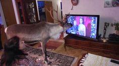 Aatu-poro rakastaa ihmisiä ja ihmiset Aatua. Rovaniemellä asuva Aatu on niin kesy, että kulkee pirtissä katsomassa televisiota. Sen suosikkisarja on englantilainen maalaisdraama Sydämen asialla.