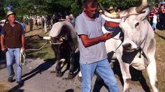 Istra,Kanfanar - Jakovlja- festa: volovi i fuzi