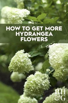 The key to getting more hydrangea flowers is to understand which types you're growing. We'll show you how to get more from your garden with our tips to encourage your hydrangeas to produce more flowers. garden landscaping How to Get More Hydrangea Flowers Hydrangea Care, Hydrangea Flower, Types Of Hydrangeas, Limelight Hydrangea, Hydrangea Colors, Hydrangea Landscaping, Garden Landscaping, Pruning Hydrangeas, How To Grow Hydrangeas