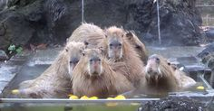 On cold days, the Saitama Children's Zoo lets its pack of giant rodents take long soaks in hot tubs filled with yuzu fruits.
