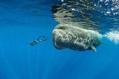Alcuni rarissimi scatti del riposino di una famiglia di capodogli,al largo della Repubblica Dominicana, sono stati realizzati dal fotografo subacqueo...