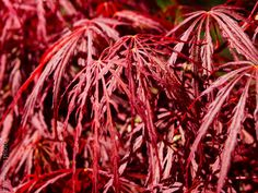 Acer palmatum dissectum 'Tamukeyama'                       TAMUKEYAMA LACELEAF JAPANESE MAPLE                deciduous tree                                 sun to part shade                           20 year size: 7'-12'H              Cascading                       FOLIAGE: Red laceleaf              FALL COLOR: Scarlet      SUMMER: Red samaras                   Protect from hot afternoon sunMoist well drained soil Acer Palmatum, Deciduous Trees, Japanese Maple, Scarlet, Sun, Fall, Plants, Summer, Color