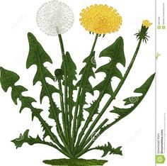 Illustration about Dandelion flower. Isolated illustration on white background. Illustration of spring, white, plant - 28814358 Small Backyard Landscaping, Large Backyard, Landscaping Ideas, Bloomin Onion, Dandelion Flower, Urban Survival, Edible Flowers, Raised Garden Beds, Permaculture