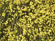 Winter jasmine (Jasminum nudiflorum) blooms in January, making it a great candidate for creating a mid-winter color splash on retaining walls and banks