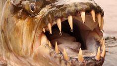 Pez tigre: Pez de Monstruos de Río Hydrocynus goliath Vía Discovery Channel