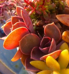 Echeveria Purple Heart with the evening sun through its leaves. A perfect colourful end to a day.