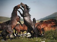The stallions rear up on their hind legs and land blows on one another with their powerful hooves in a stunning battle to win the dominance of their wild herd. Description from dailymail.co.uk. I searched for this on bing.com/images