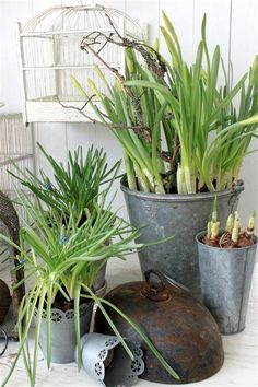 Galvanized garden containers with bulb greenery