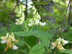 Cold hardy vines for USDA zone 3 are often found wild and important sources of food and shelter for animals. Many are also ornamental and make perfect flowering vines in cold climates. Some suggestions for zone 3 vine plants can be found here.