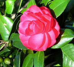 Elegans Camellia - Plant Encyclopedia - BHG.com