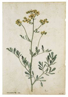 Image of rue or herb of grace, by jacques le moyne de morgues. Botanical Drawings, Botanical Art, Wildflower Drawing, Libros Pop-up, Plant Drawing, Nature Journal, French Artists, Vintage Images, Wild Flowers