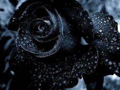 black rose with dew