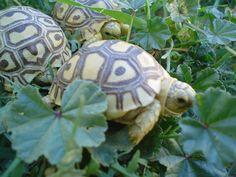 Leopard Tortoise Hatchlings