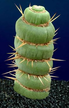 Eulychnia castanea fa. spiralis