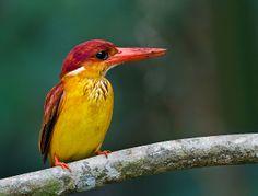 Rufous Backed Kingfisher (Ceyx Rufidorsa) in Panti Forest Reserve_ Malaysia