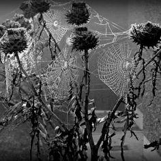 Goth:  #Spider ~ Cobwebbed dead flowers.