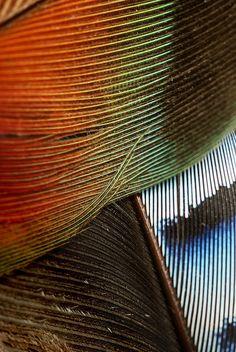Petites plumes de geai bleu et d'inseparable